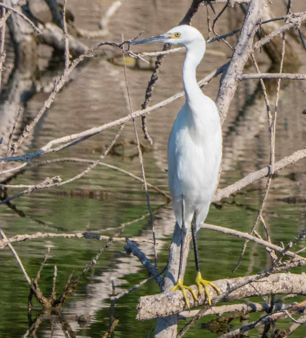 snowy egret on tree stump by heather valey